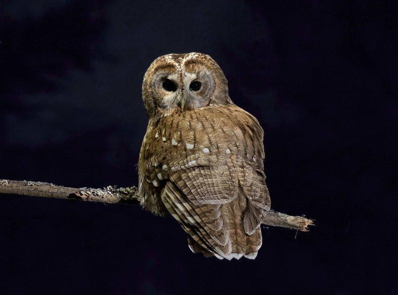неясыть серая tawny owl Обыкновенная неясытьphoto preview
