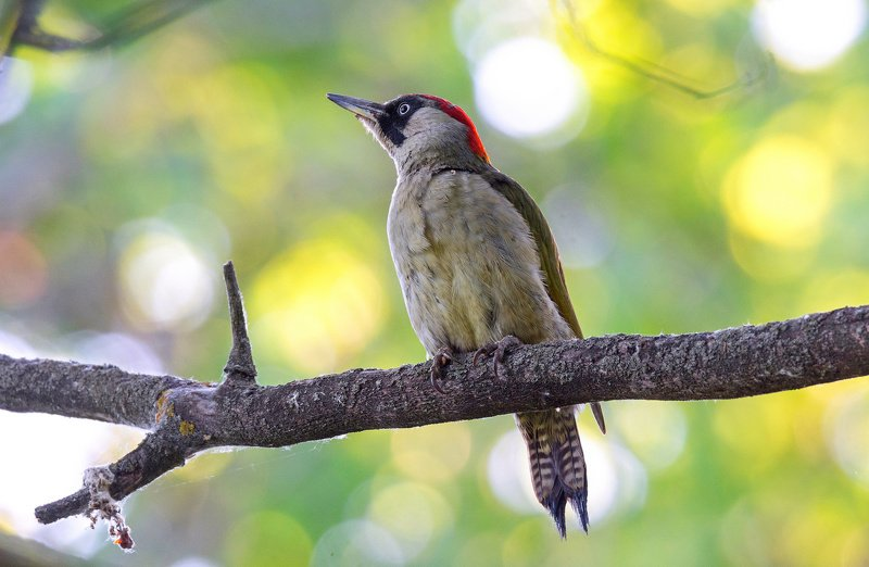 птица зелёный дятел Санитаркаphoto preview