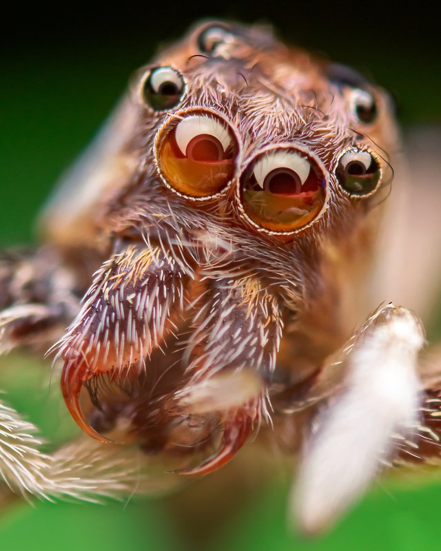 macro wildlife closeup insects The dangerous Bretuus sp.photo preview