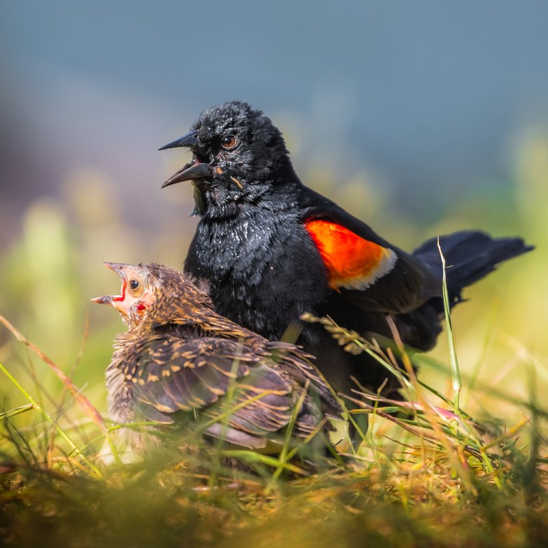 Red-winged Blackbird and his chickphoto preview