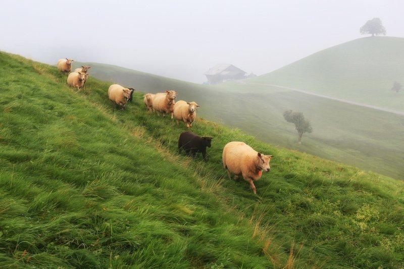 швейцария, альпы, овцы, пастораль, холмы, утро, туман Швейцарская пасторальphoto preview