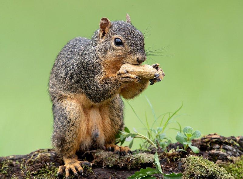 белка, squirrel, лисья белка, fox squirrel, животные,animals Лисья Белка - Fox Squirrelphoto preview