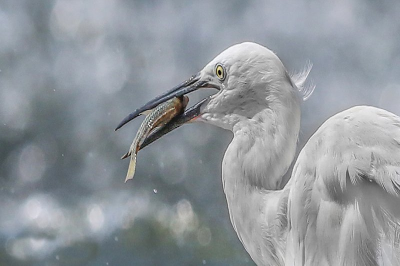 Great egretphoto preview