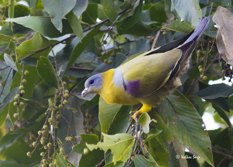 Желтоногий зелёный голубь, Yellow-footed Green Pigeon, Treron phoenicopterus, Columbidae, птицы, фотоохота, Индия, birds Голубь-радуга)photo preview