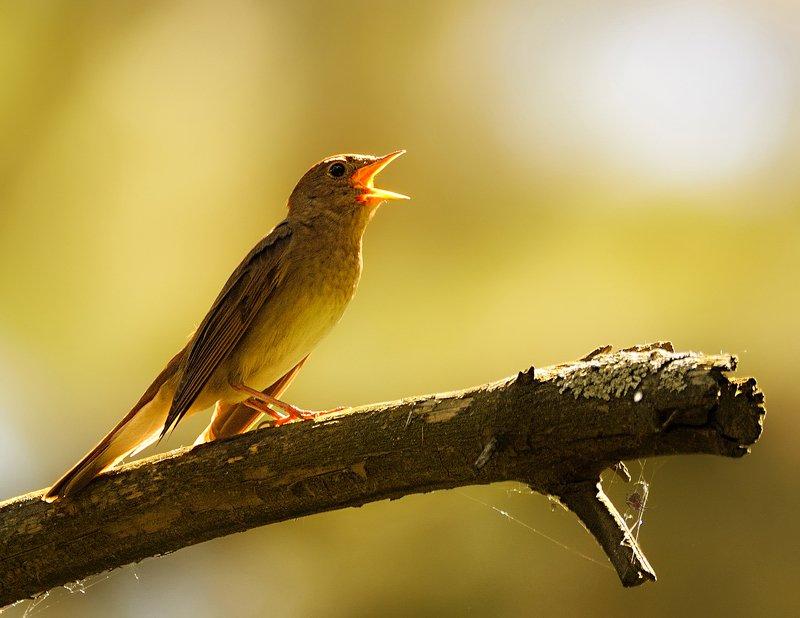 природа, фотоохота,соловей, птицы, животные, цветы, лето На заре ты меня не будиphoto preview