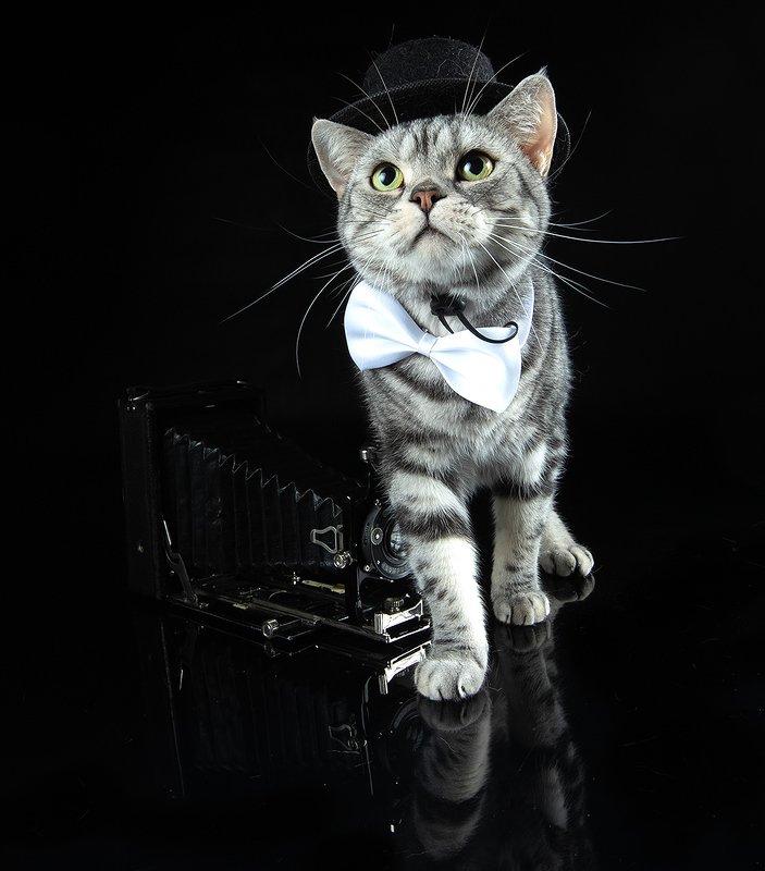 сat, кошка, животные, кошки,американский короткошерстный кот, american shorthair cat, рыжик, фотограф, ginger С Днем Фотографа! Маркиз и Рыжик!photo preview