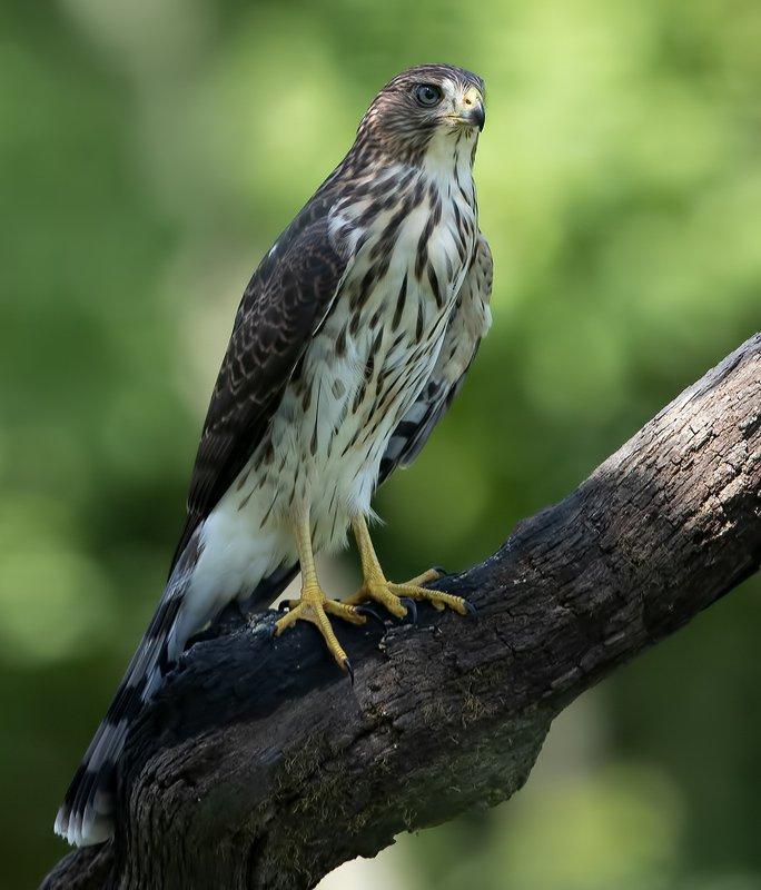 полосатый ястреб, sharp-shinned hawk, ястреб, hawk Sharp-shinned Hawk - Полосатый ястребphoto preview