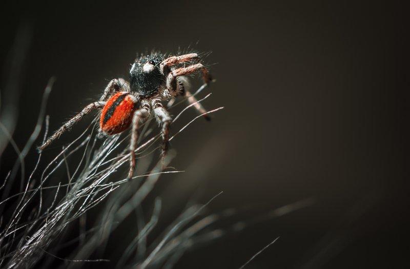 природа, макро, паук, скакунчик, кактус, маммиллярия Славный пареньphoto preview