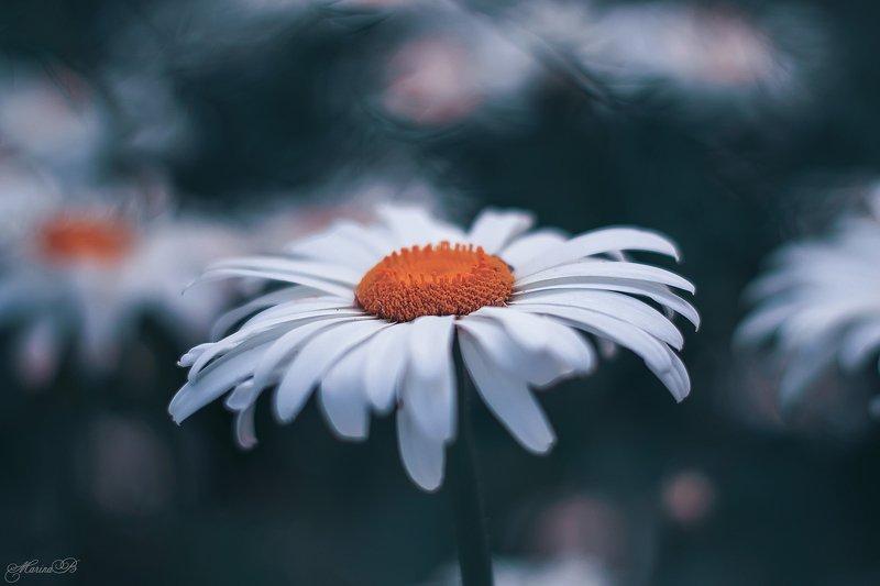 ромашка, лето, сад Пусть ваша жизнь будет похожа на ромашку - светлая и с солнышком внутри…photo preview