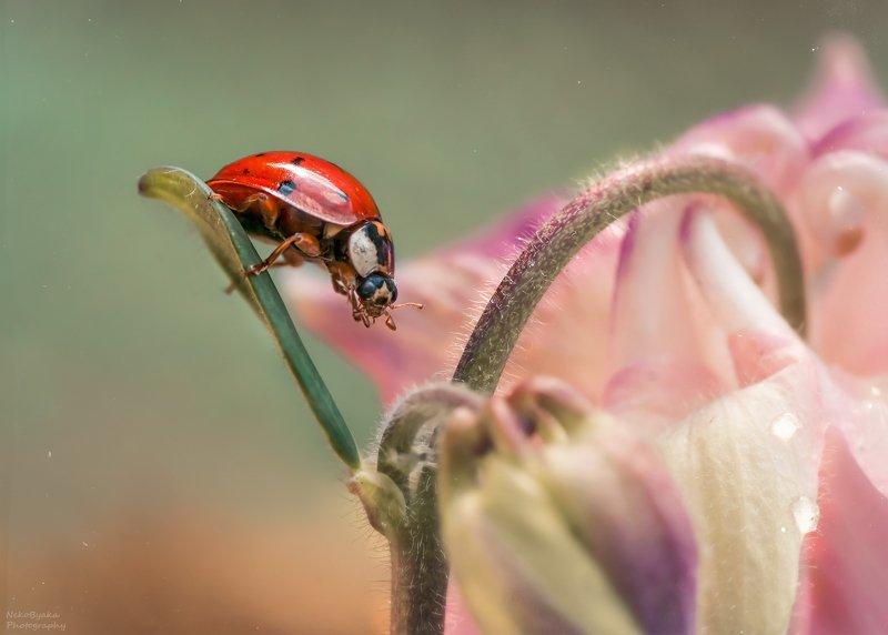 макро, природа, насекомые, божья коровка, цветы, аквилегия, весна, macro, nature, insects, ladybug, flowers, aquilegia, spring Розовый будуарphoto preview