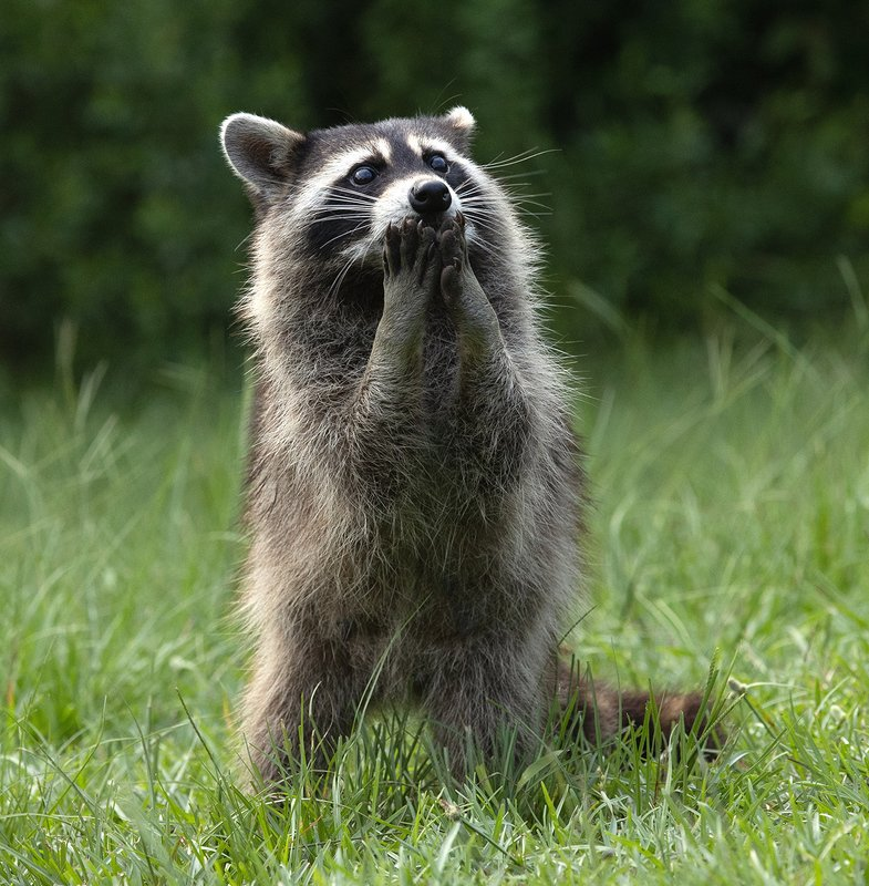 енот обыкновенный, енот-полоскун, raccoon, енот, дикие животные, животные, animals Raccoon - Енот- полоскунphoto preview