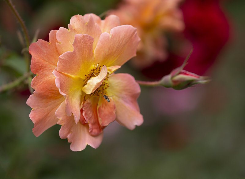 роза оса Розовая розаphoto preview