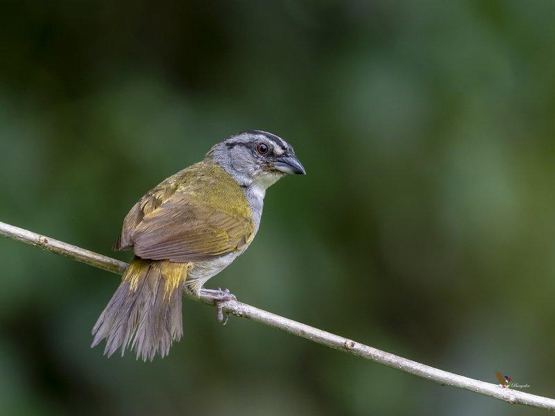 Black-striped Sparrowphoto preview