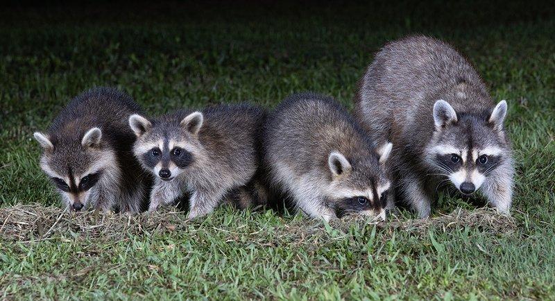 raccoon,енот обыкновенный, енот-полоскун, raccoon, енот, дикие животные Raccoon Family - Семейство Енотовphoto preview