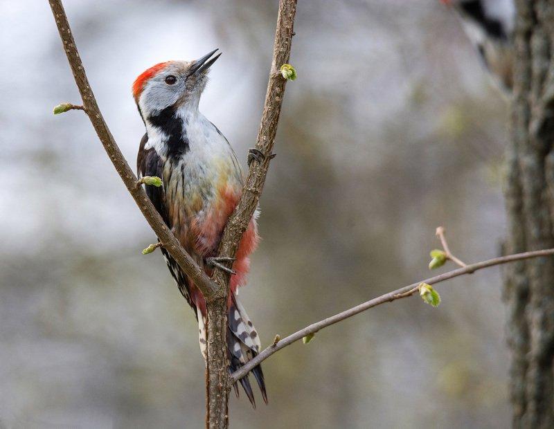 птица средний дятел Портрет для красной книгиphoto preview