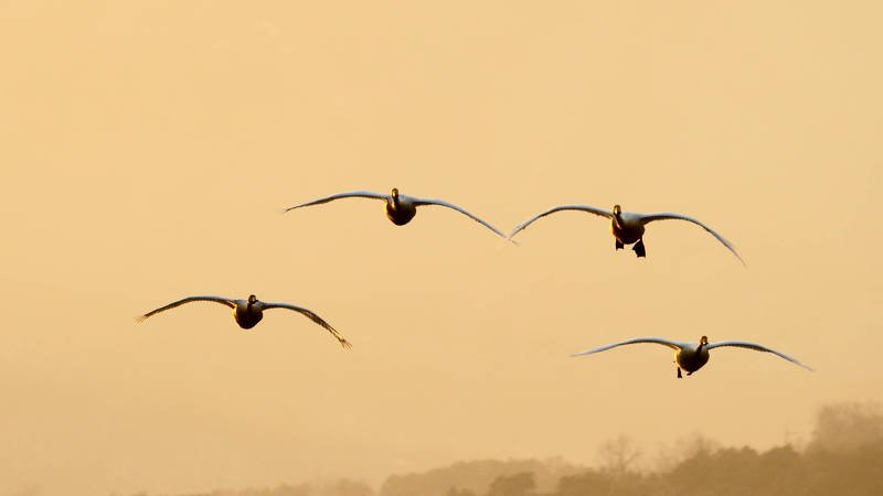 south korea, gyeonggido, winter, sunset, swan, animal, bird, sky, light, Flying swansphoto preview