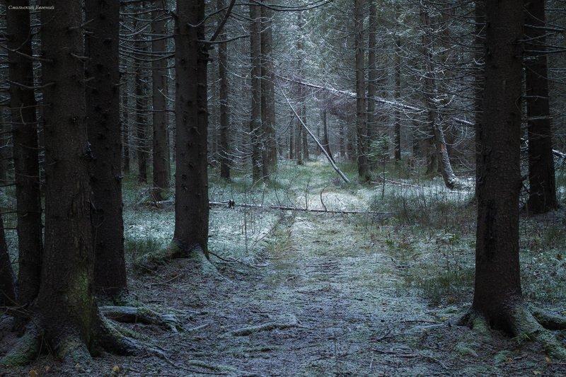 лес, зима, ель, чаща, тропа, снег, вечер Припорошенные снегомphoto preview