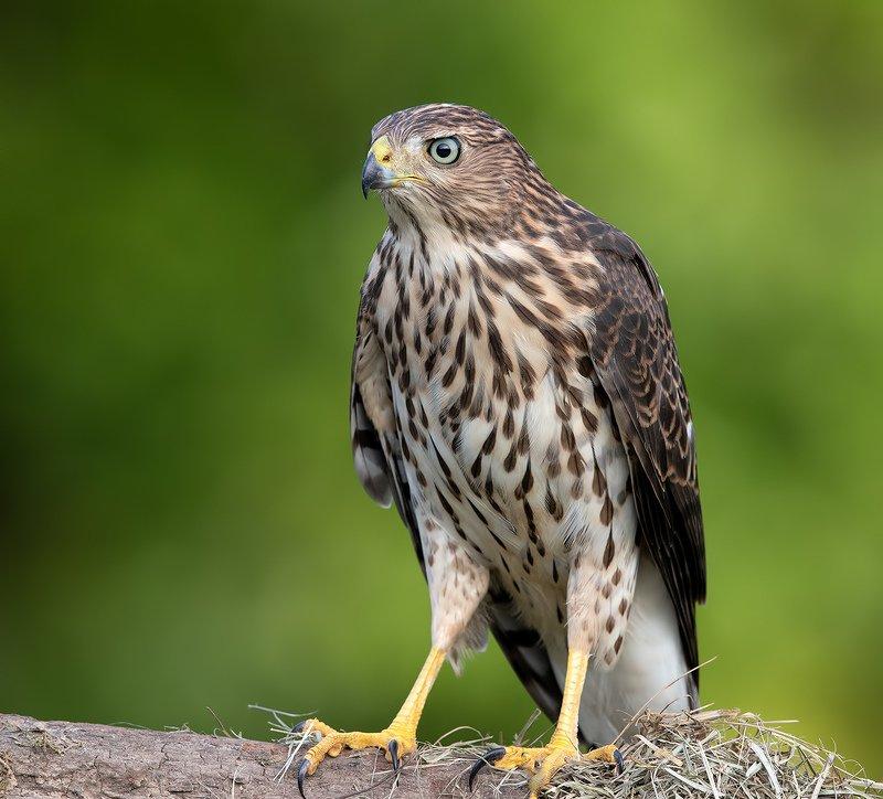 полосатый ястреб, sharp-shinned hawk, ястреб, hawk Juvenile. Sharp-shinned Hawk - Молодой Полосатый ястребphoto preview