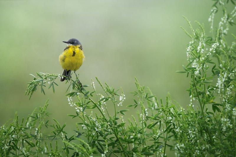 природа, лес, поля, огороды, животные, птицы, макро Лимончик поспел :) фото превью