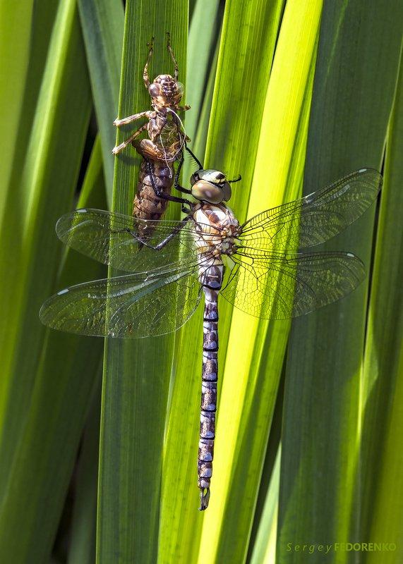 Завершение метаморфоза стрекозы.photo preview