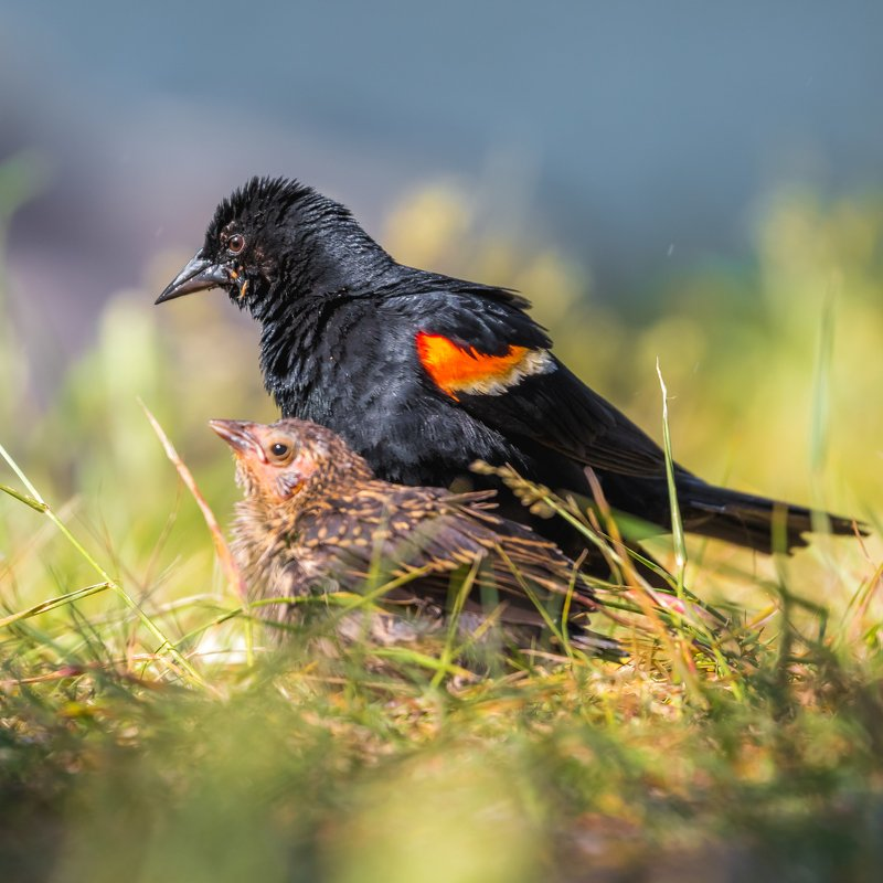 Red-winged Blackbird and the chickphoto preview