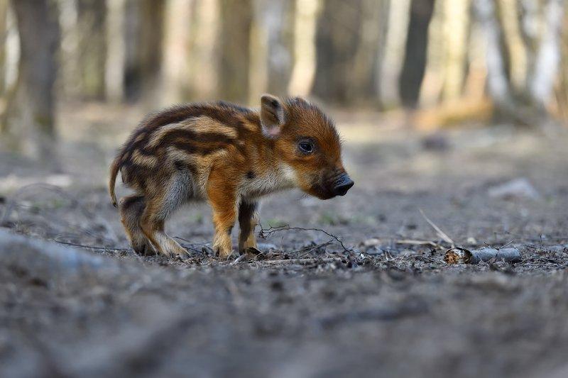 лес,животные,свинёныш,мелкий первые шагиphoto preview