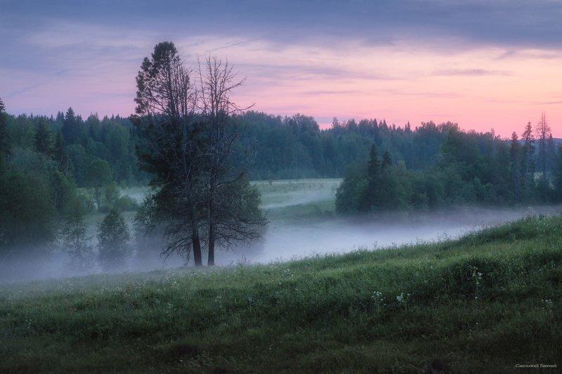туман, поле, ночь, лето, сибирская сосна, сосна. Туманные белые ночиphoto preview