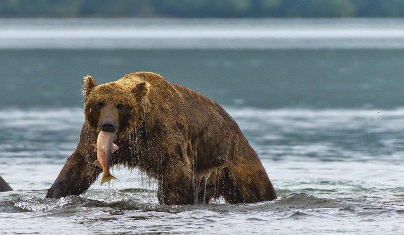 Bear Animal Mammal Salmon Kuril Lake Russia Kamchatka fishing Bear fishing in Kuril Lakephoto preview
