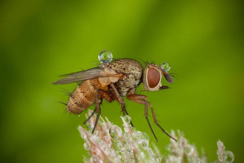 tachinid fly,  tachinid, fly, drop, dew, green, morning, insect, dipteran, macro, macrophotography, close-up, close up, Diptera, Tachinidae, Pudomyagi, Gatchina district, Leningrad Region, Russia A fly with balls / Муха с шарикамиphoto preview