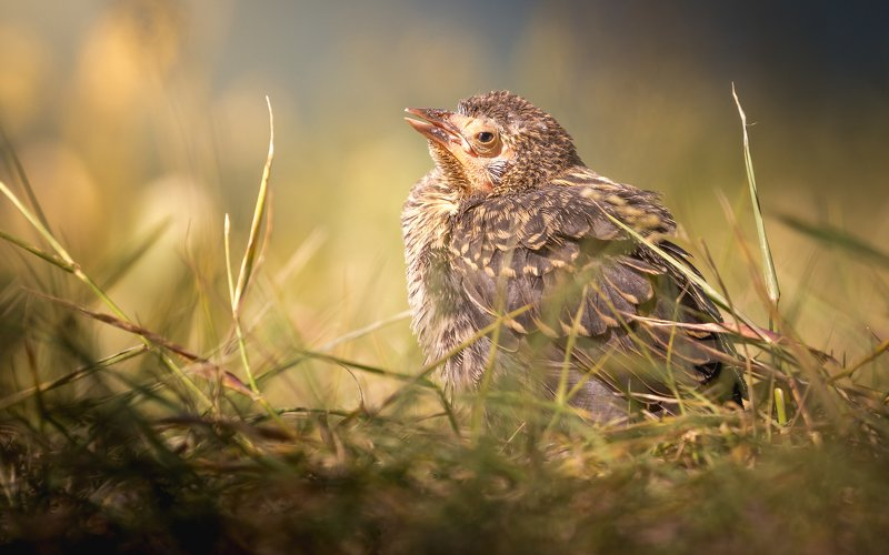 Chick of Red-winged Blackbird, almost sleepingphoto preview