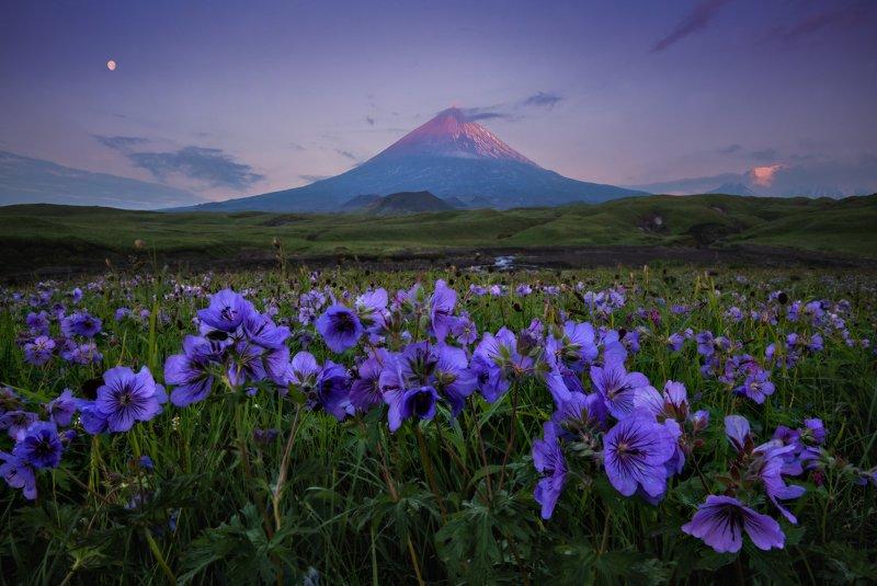 камчатка Цветы и вулкан. фото превью