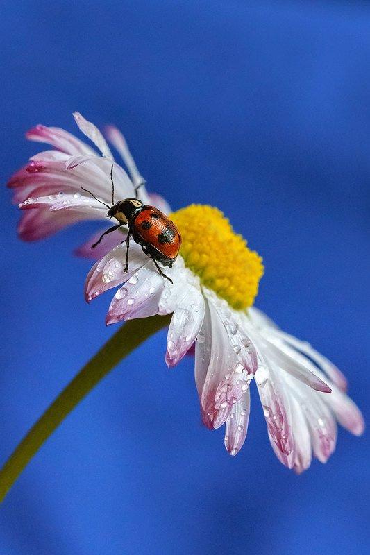 макро, насекомое, насекомые, скрытоглав, листоед, макромир, цветок, маргаритка Скрытоглав восьмиточечныйphoto preview