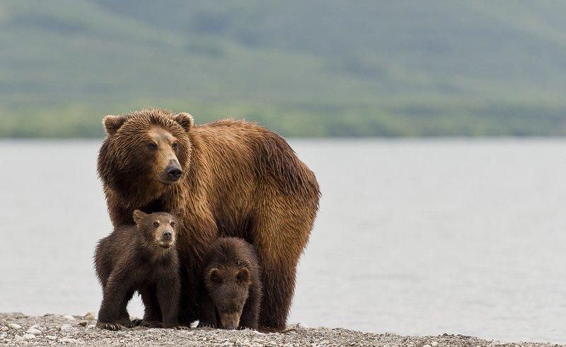 Bear Animal Mammal Salmon Kuril Lake Russia Kamchatka cubs mom Mother-bear protecting cubsphoto preview