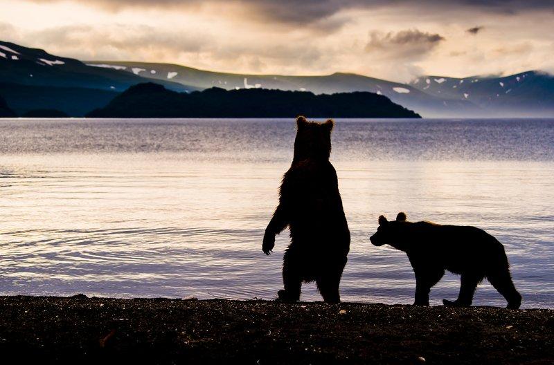 Bear Animal Mammal Kuril Lake Russia Kamchatka sunrise backlight Looking the sunrisephoto preview