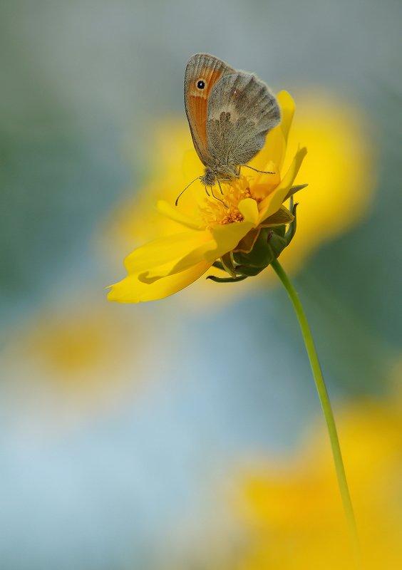 Сенница обыкновенная, Бабочка, Цветок Сенница обыкновеннаяphoto preview