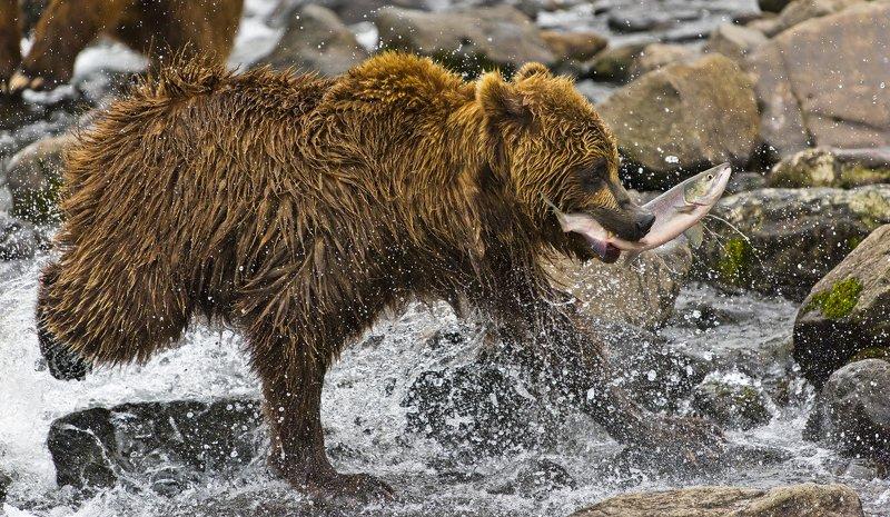 Bear Animal Mammal Salmon Russia Kamchatka fishing river running Running with fishphoto preview