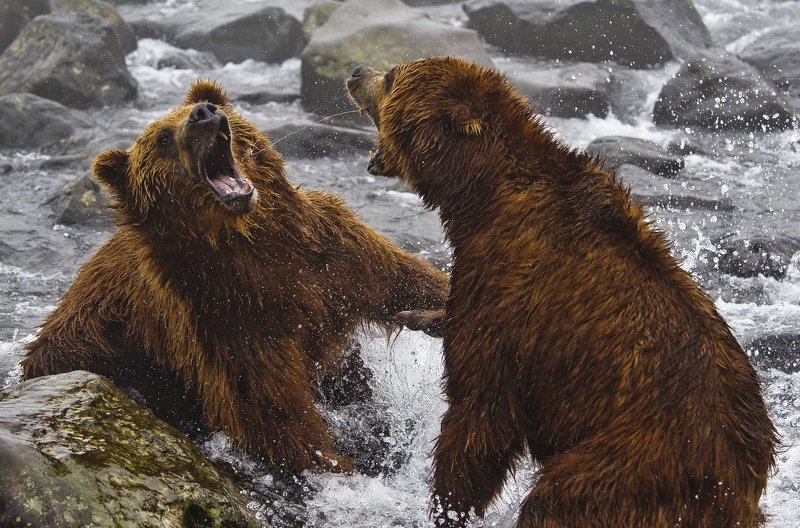 Bear Animal Mammal Salmon Russia Kamchatka fight Clash of Titansphoto preview