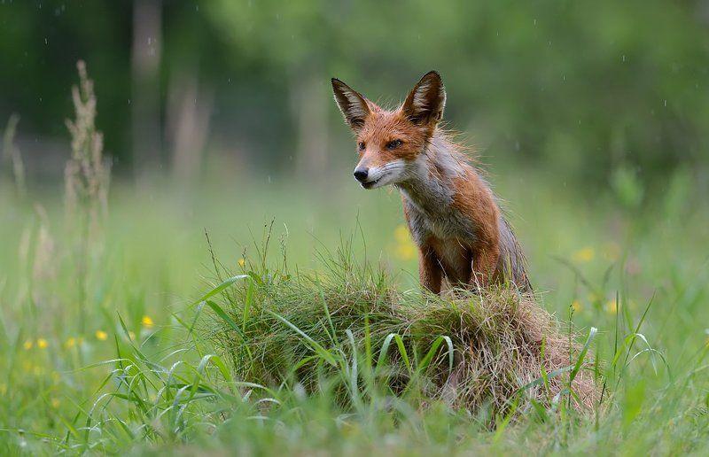 лисица, обыкновенная Любопытная лисицаphoto preview