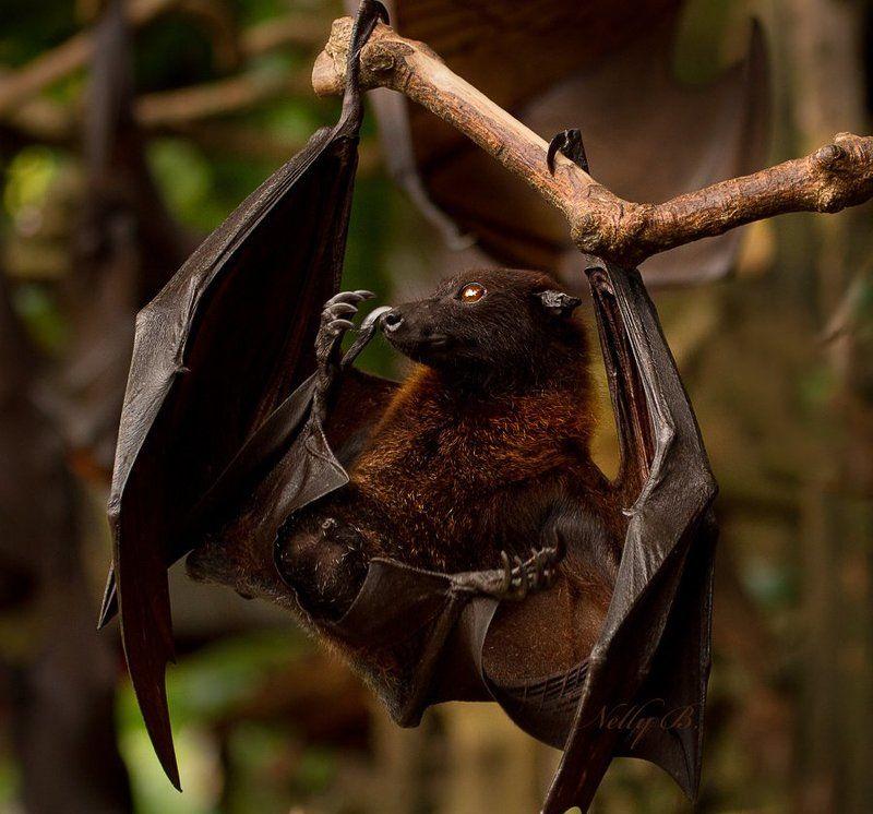 калонг, лисица, летучая лисица, летучая мышь, индонезия Калонг, или гигантская летучая лисицаphoto preview