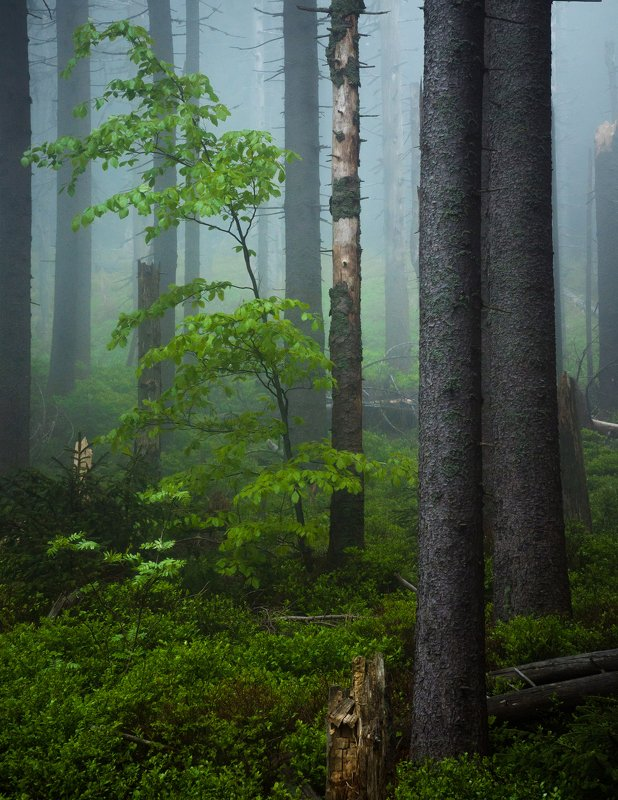 fog, tree, forest Greenphoto preview