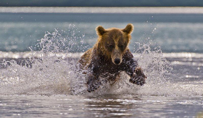 Bear Animal Mammal Salmon Kuril Lake Russia Kamchatka fishing Water jumpphoto preview