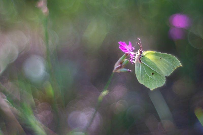Бабочка, Юпитер 8 Лимонницаphoto preview