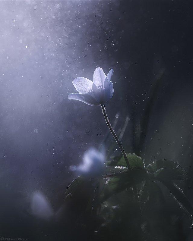 украина, коростышев, природа, лес, полесье, весна, цветы, ветреница, свет, жизнь, магия, единство, адвайта, макро, макро мир, макро красота, макро истории, волшебство, сказка, сияние, вера, любовь, близость, душа, трепет, фотограф, чорный, surrenderphoto preview