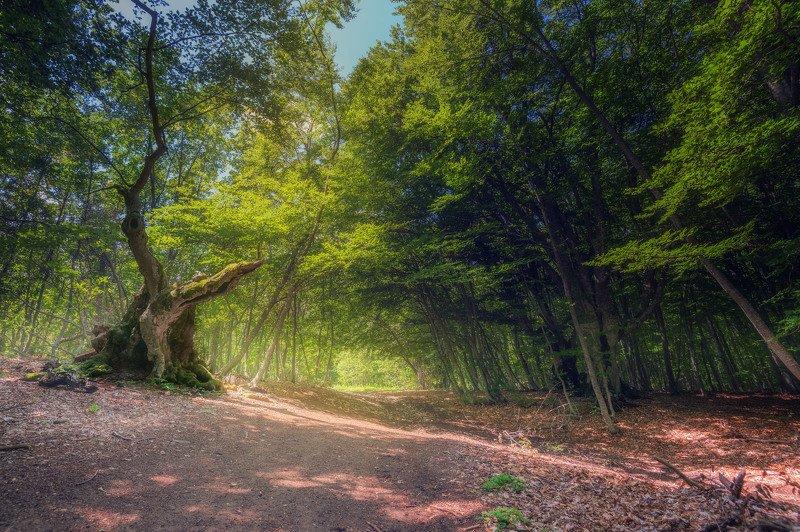Старый бук: 300-летний страж леса