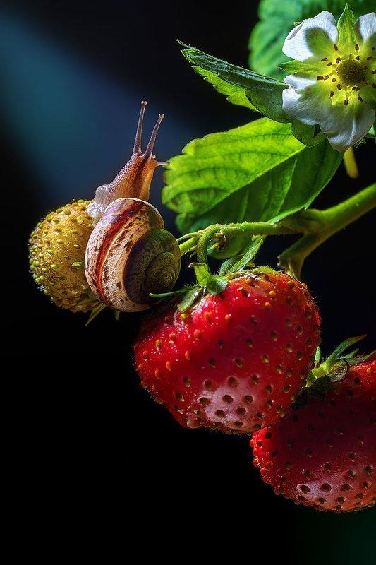 макро, насекомое, улитка, моллюск, макромир, клубника, фауна, природа, ягоды, лето Улитка и клубникаphoto preview