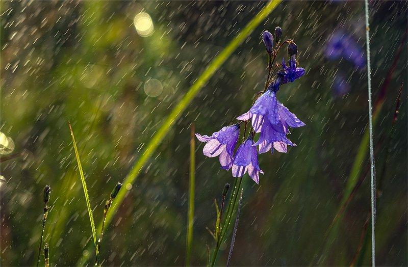 nature, природа, цветы, колокольчики, дождь, капли, под дождемphoto preview