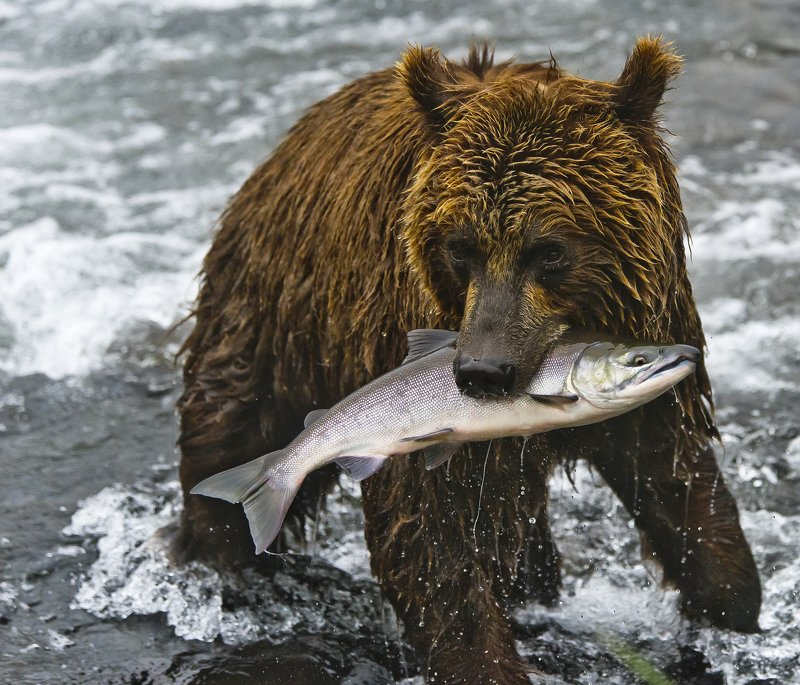 Bear Animal Mammal SalmonRussia Kamchatka fishing This is all mine!photo preview