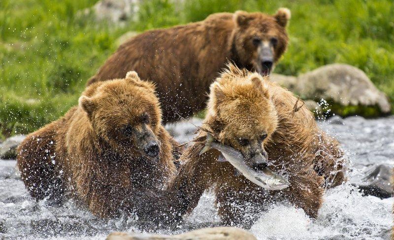 Bear Animal Mammal Salmon Russia Kamchatka fishing Contending for a fishphoto preview