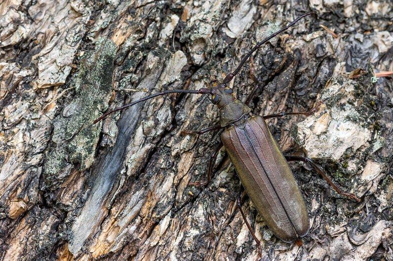 природа, макро, насекомые, жуки, усач зернистоусый На лесной тропинке ...photo preview