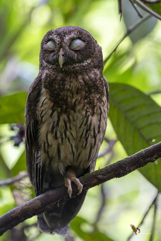 Mottled Owlphoto preview
